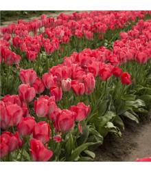 Tulipán Judith Leyster - Tulipa - cibule tulipánů - 3 ks