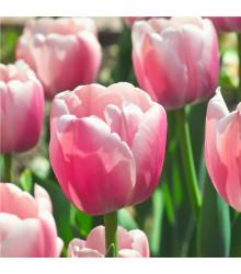 Tulipán Ollioules - Tulipa - holandské cibule tulipánů - 3 ks