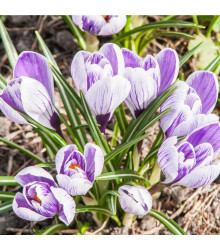 Krokus King of striped - Crocus Vernus - cibule krokusů - 3 ks