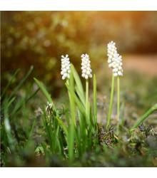 Modřenec White Magic - Muscari aucheri - cibule modřenců - 5 ks