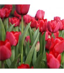 Tulipán Ile De France - Tulipa - holandské cibule tulipánů - 3 ks