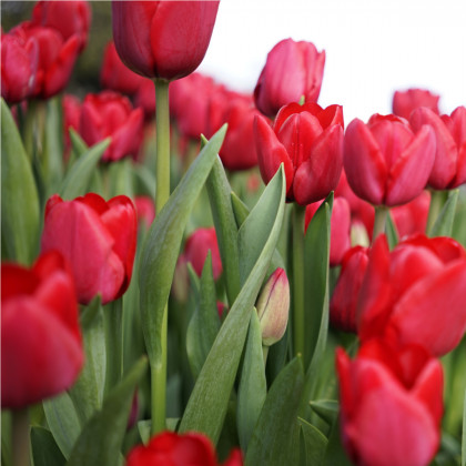Tulipán Ile De France - Tulipa - cibule tulipánů - 3 ks