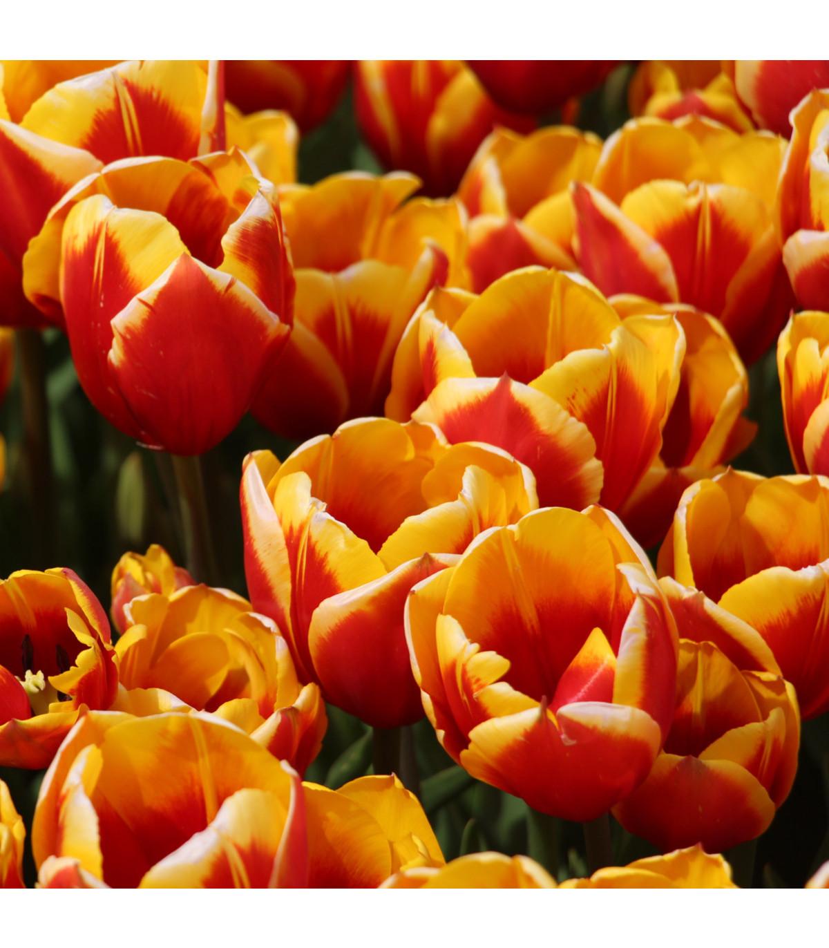 Tulipán Kees Nelis - Tulipa - cibule tulipánů - 3 ks