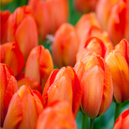 Tulipán Orange Brilliant - Tulipa - cibule tulipánů - 3 ks