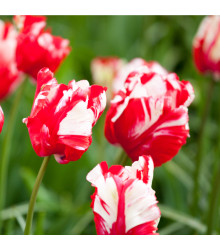 Tulipán Estella Rijnveld - Tulipa - holandské cibule tulipánů - 3 ks