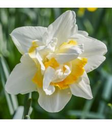 Narcis White Lion - Narcissus - cibule narcisů - 3 ks
