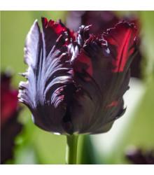 Tulipán Black Parrot - Tulipa - holandské cibule tulipánů - 3 ks