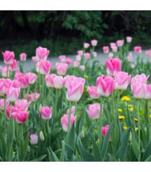 Tulipán Dynasty - Tulipa - holandské cibule tulipánů - 3 ks