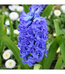 Plnokvěté hyacinty - Crystal Palace