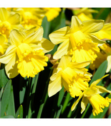 Narcis Goblet - prodej cibulovin - plnokvěté narcisy - 3 ks
