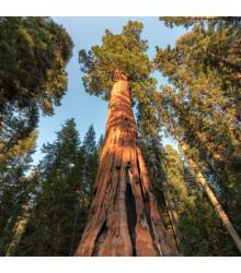 Sekvoj vždyzelená - Sequoia sempervirens - semena Sekvoje- 3 ks