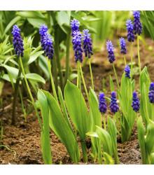 Modřenec širokolistý - Muscari latifolium - cibule modřenců - 5 ks