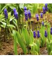 Modřenec širokolistý - Muscari latifolium - prodej cibulovin - 5 ks