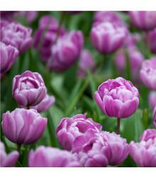 Tulipán plnokvětý Blue Diamond - Tulipa - holandské cibule tulipánů - 3 ks