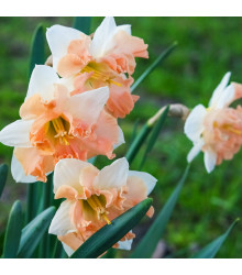 Narcis Vanilla Peach - narcisy cibuloviny - 3 ks