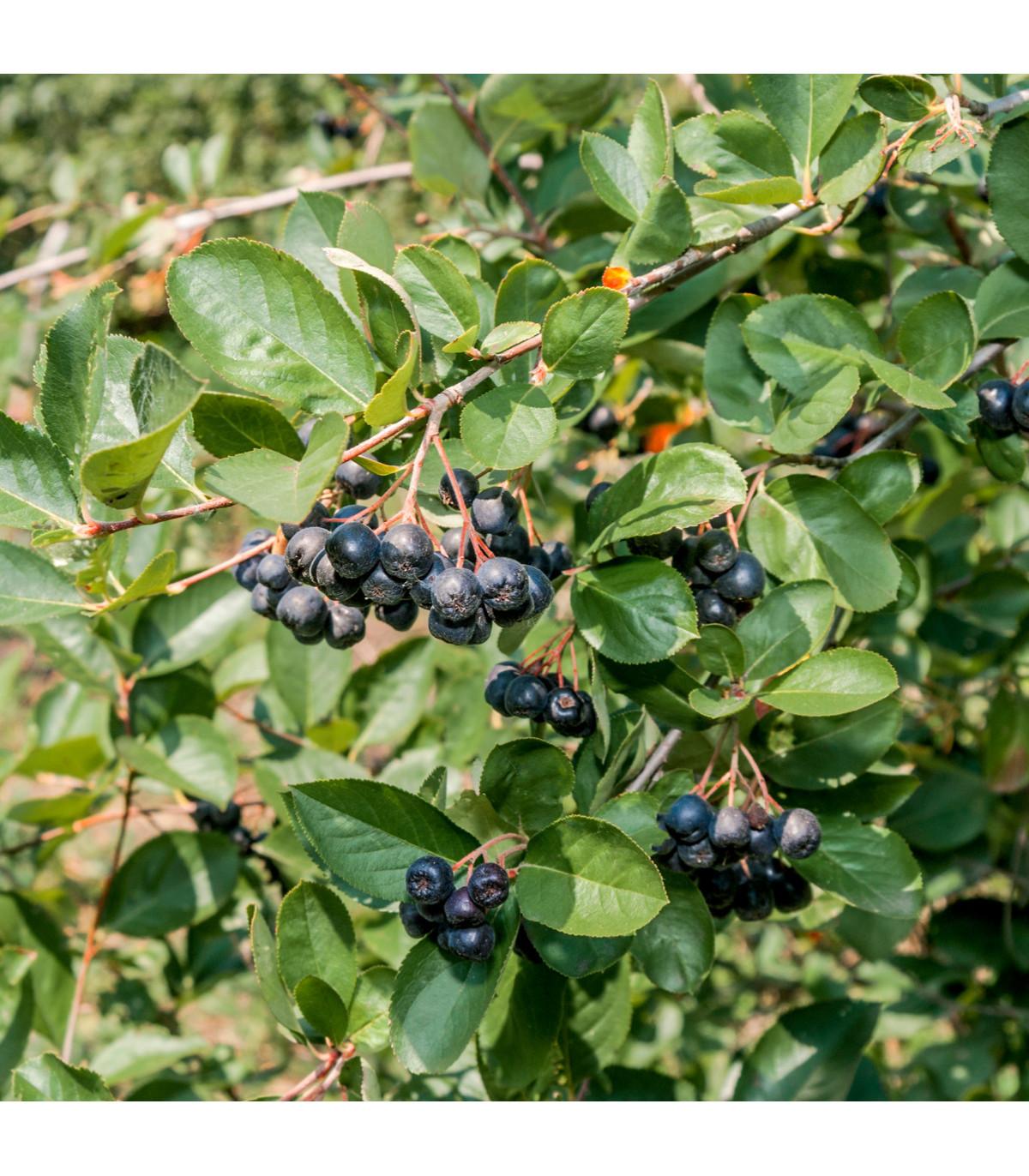Aronie - Černý jeřáb - Aronia melanocarpa - prodej semen- 7 ks
