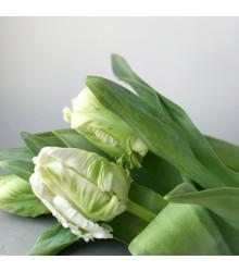 Tulipán - Black parrot - cibule tulipánů - holandské tulipány - 3 ks
