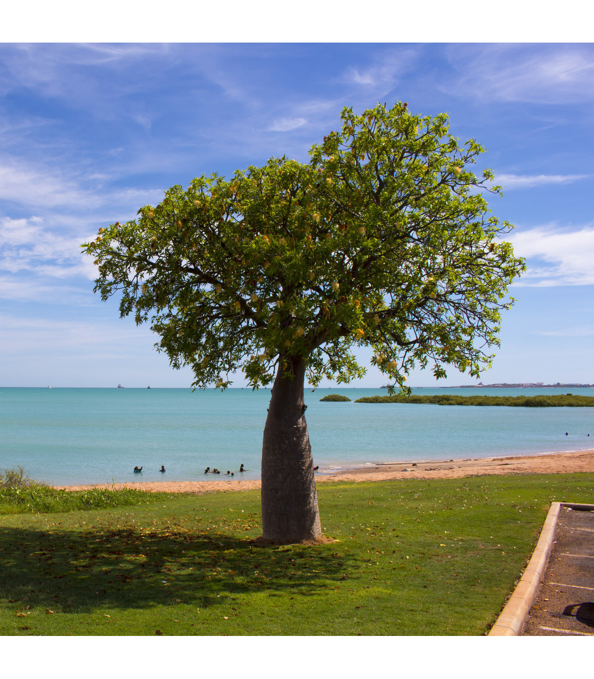 Australský baobab - Adansonia gregorii - semena baobabu - 2 ks