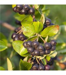 Aronie - Černý jeřáb - Aronia arbutifolia - prodej semen- 7 ks