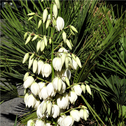 Juka - Yucca - Rupicola - osivo juky - 5ks