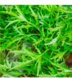 Mizuna- japonská hořčice- semena japonské hořčice Mizuna- 7 ks