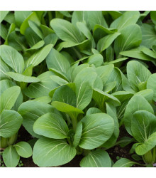 Komatsuna - Zelená hořčice - semena komatsuny - 20 ks
