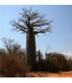 Baobab Za - Adansonia madagascariensis - semena baobabu - 3 ks