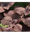 Perila červená - asijská zelenina - prodej semen perilly - 0,7 gr