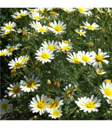 Chryzantéma jedlá - Chrysanthemum coronarium - prodej semen - 450 ks