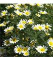 Chryzantéma jedlá - Chrysanthemum coronarium - prodej semen - 0,9 gr