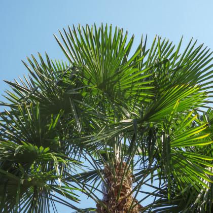 Palma konopná - Žumara ztepilá - Trachycarpus fortunei - prodej semen - 2 ks
