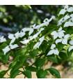 Dřín japonský- Svída japonská- Cornus kousa- semena Svídy- 4 ks