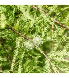 Tisovec dvouřadý - Taxodium distichum - semena tisovce - 5 ks