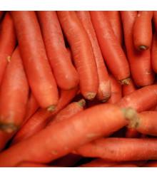 Mrkev Autumn King 2 - Daucus carota - semena mrkve - 0,4 g