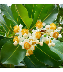 More about Pulai - Alstonia scholaris - prodej semen - 8 ks