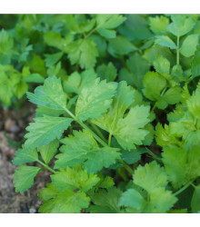 Celer listový kadeřavý Pikant - Apiuám graveolens var. Secalinum - semena celeru - 400 ks