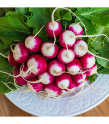 Ředkvička červenobílá - prodej semen ředkvičky - 0,5 gr