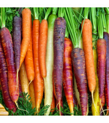 Mrkev letní Rainbow F1 - Daucus carota - osivo mrkve - 50 ks