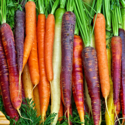 Mrkev letní Rainbow F1 - Daucus carota - semena mrkve - 50 ks