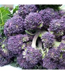 Brokolice raná fialová - Rudolph - Brassica oleracea - prodej semen brokolice - 30 Ks