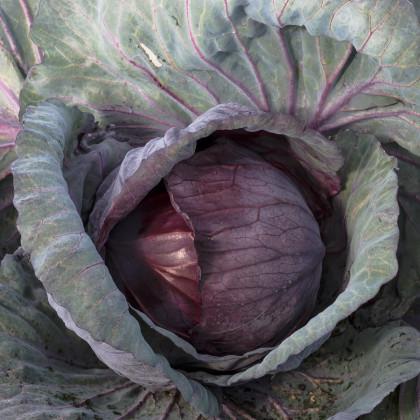 Zelí hlávkové červené Cabeza negra - Brassica oleracea - osivo zelí - 200 ks