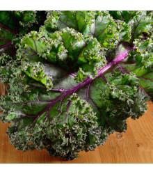 Kadeřávek Red Russian - Brassica oleracea - osivo kadeřávku - 150 ks