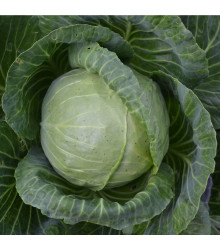 Zelí Dita - hlávkové bílé - Brassica oleracea - prodej semen zelí - 0,8 gr