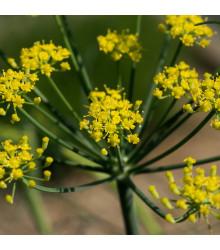 Fenykl kořeninový - Foeniculum vulgare - semena fenyklu - 100 ks