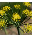 Fenykl kořeninový - Foeniculum vulgare - semena fenyklu - 200 ks