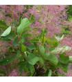 Růj vlasatá - Cotinus coggygria - prodej semen - 7 Ks
