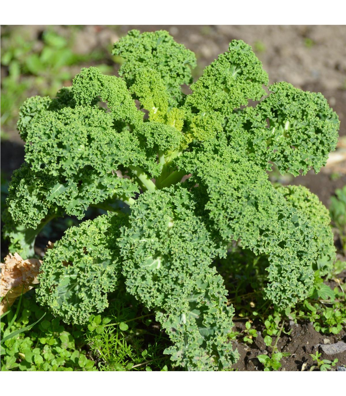 Kadeřávek Lerchenzungen - Brassica oleracea L. - osivo kadeřávku - 150 ks