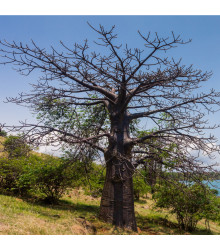 More about Lahvový strom - Adansonia suarezensis - semena baobabu - 2 ks