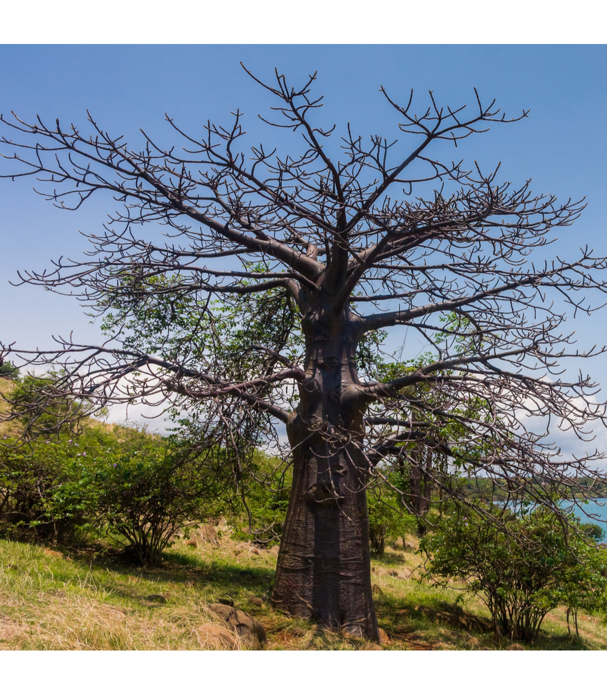Lahvový strom - Adansonia suarezensis - semena baobabu - 2 ks