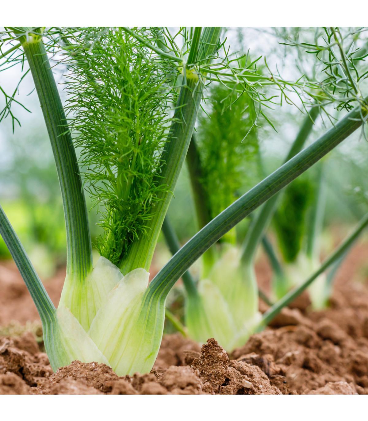 Fenykl sladký do salátů - Foeniculum vulgare Mill. - prodej semen - 30 ks